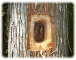 Pileated Woodpecker Hole